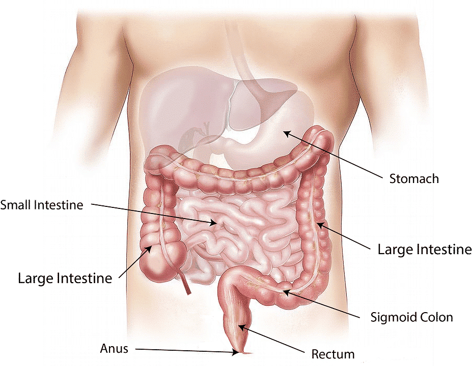 Anatomia dell'intestino cenni