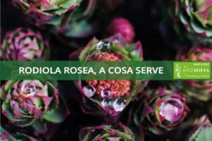 Rodiola Rosea what it is for